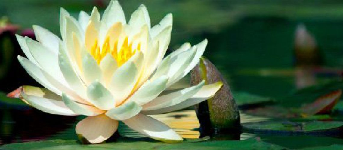 31__x_water-lily-header[1]